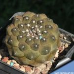 Copiapoa hypogaea v. barquitensis FR 654 Near Chañaral, Barquito, 02 Antofagasta, Chile
