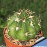 Echinopsis obrepanda subs. calorubra