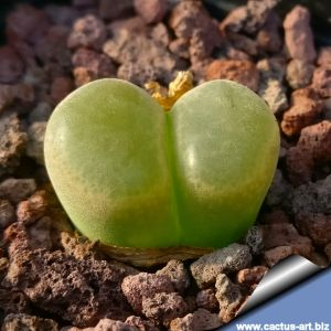 Ophthalmophyllum lydiae