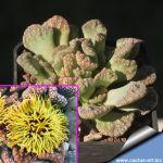 Titanopsis calcarea cv. BIZZARRE