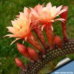 Hildewintera hybrid cv. HUMKES ROSCHEN