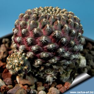 "Rebutia heliosa v. melanistes (densipectinata) KK849 ""short spined form"""