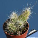 Echinocereus parkeri sp. L1375 Dulces Nombres