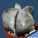 Astrophytum myriostigma v. tulense