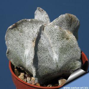 Astrophytum myriostigma var. tulense