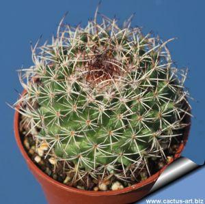 Mammillaria mystax (Pale spine type)