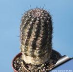 Lobivia hybrid iridescens