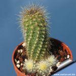 Echinocereus koehresii (koehresianus)