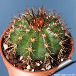Melocactus delessertianus