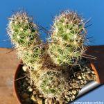 Coryphantha pulleineana SB33 Huizache