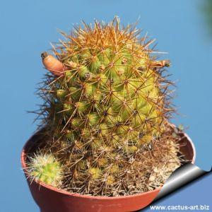 Mammillaria rekoi v. aureispina L1055
