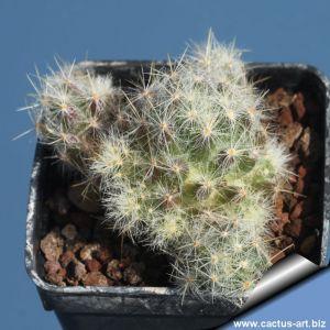 Mammillaria prolifera Bexar.Co,