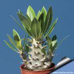 Pachypodium horombense (caudex)