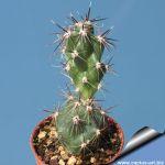 Tephrocactus sp. A