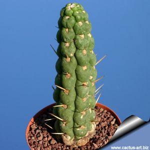 Eulychnia castanea v. varispiralis