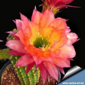 Trichopsis (Trichocereus x Echinopsis hybrid) cv. SUPER APRICOT V. J.B. Kornely