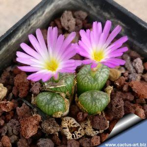 Conophytum ectypum v brownii Ratelpoort