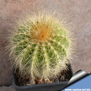 Notocactus magnificus var. Warasii