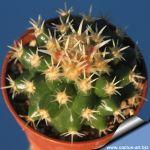 Echinocactus grusonii v. intermedius