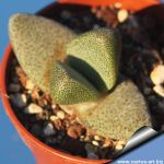 Pleiospilos simulans Kendrew, (MG1835.06)