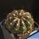 Notocactus ottonis var. paraguayensis