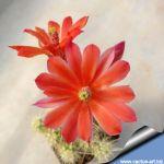 Echinocereus brandegeei Lau 026 El Arco, Baja California, Mexico, 200m.