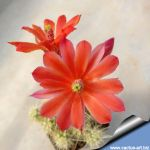 Echinocereus brandegeei  Lau 026El Arco, Baja California, Mexico, 200m