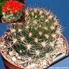 Weingartia neocumungii HS93A Quilaquila, Chuquisaca, Bolivia (Red flowers)