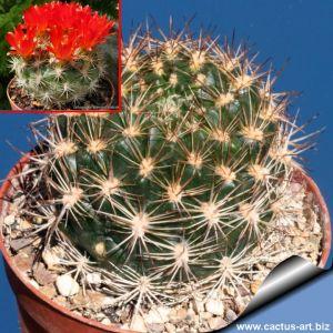 Weingartia neocumingii HS93A Quilaquila, Chuquisaca, Bolivia (Red flowers)