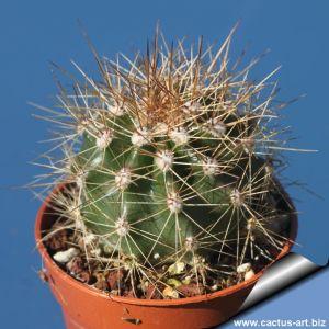 Carnegiea gigantea Pima Co, Arizona, USA (Saguaro)