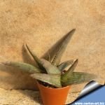 Aloe petricola blue leaves with few teeth, stemless