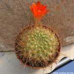 Rebutia cintiensis LF 358 Tacaquira 3150m