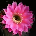 Echinopsis hybrid cv. ROMANCE (Schick)