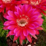 Echinopsis hybrid cv. MADAME PELE (Schick)