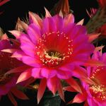 Echinopsis hybrid cv. DON JUAN (Schick)