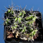 Euphorbia mitriformis (dwarf form)