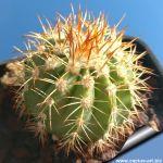 Melocactus sp. Nova soata