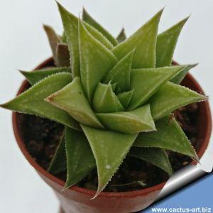 Haworthia floribunda X lateganiae