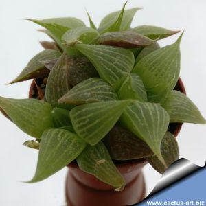 Haworthia retusa acuminata