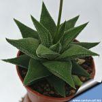 Haworthia cv.Tisleyi