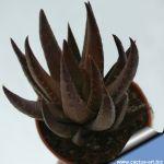 Haworthia coarctata