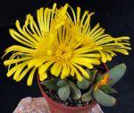 Glottiphyllum suave SL-84-357