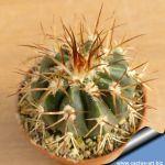 Melocactus lobogueroi x conoideus