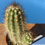 Echinocereus pacificus