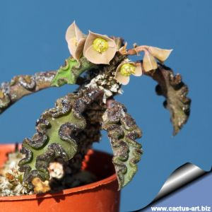 Euphorbia decaryi spirosticha