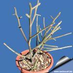 Euphorbia Intsy-Maintyi