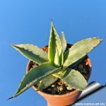 Agave chiapensis