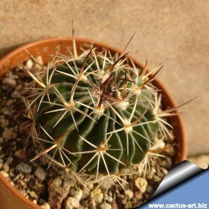 Echinofossulocactus obvallatus N85.131 Atizapan, Mex