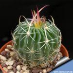 Echinofossulocactus anfractuosus N.82.009 Patria-Nueva