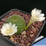 Rebutia marsoneri albiflora (cv. White Flowers)